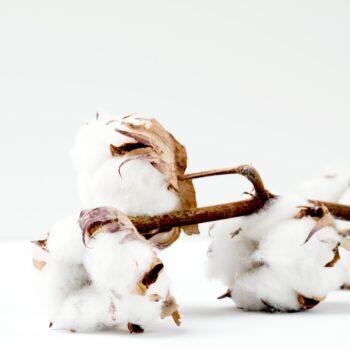 algodón ecológico algodón convencional